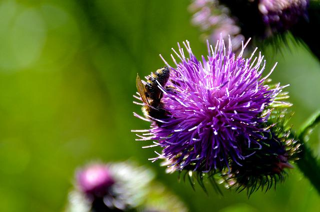 Bee, Thistle, Summer, Close, Insect