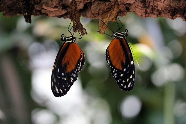 Butterfly, Orange, Insect, Close, Pair, Two, White Dots