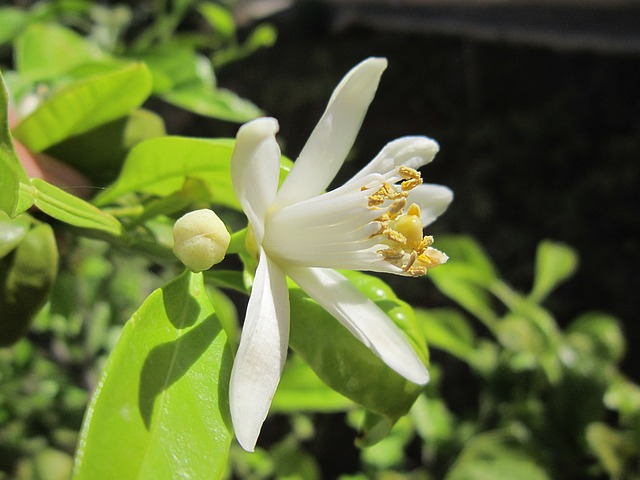 Lemon Blossom, Spring, Mediterranean, Close, Lemon Tree
