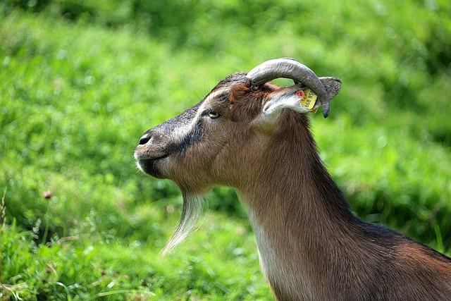 Goat, Close, Domestic Goat, Livestock