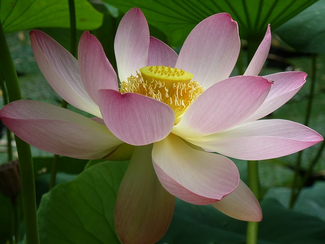 Lotus Blossom, Lotus, Close, Lotus Flower, Pink