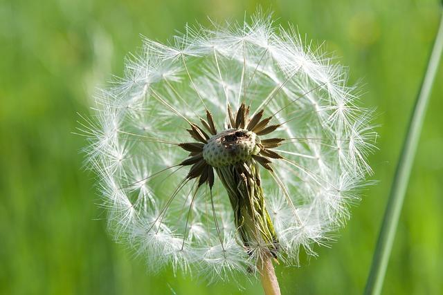 Dandelion, Close, Seeds, Common Dandelion, Nature