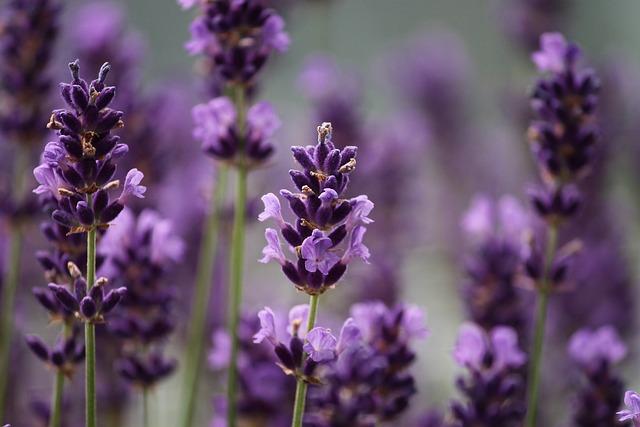 Lavender, Violet, Close, Nature, Lavender Flowers