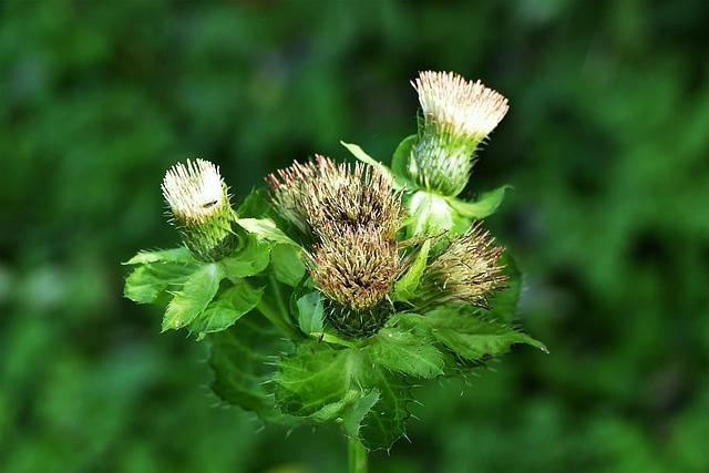 Thistle, Close, Thistle Flower, Nature, Wild Plants