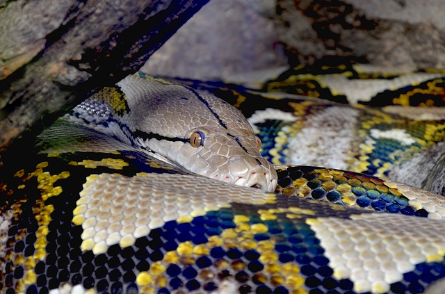 Python, Net Python, Beauty, Constrictor, Close, Reptile