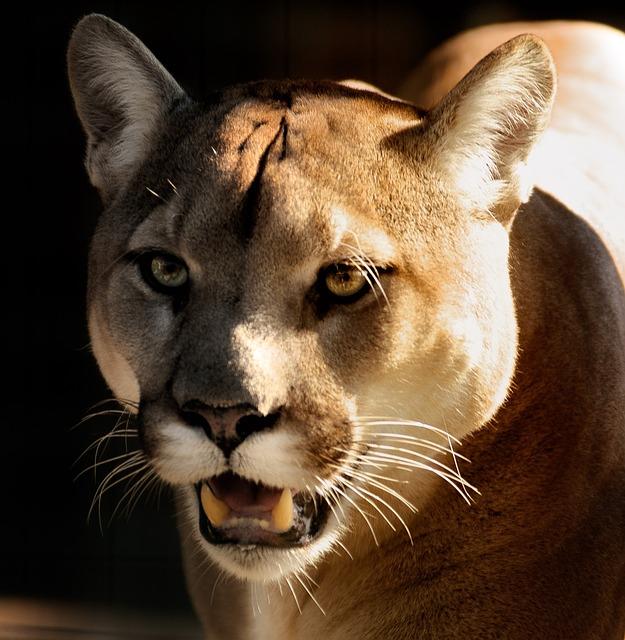 Cougar, Puma, Close, Eyes, Wildlife, Carnivore, Panther