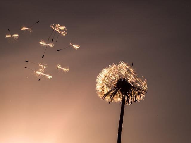 Dandelion, Nature, Fluffy, Plant, Close, Flower