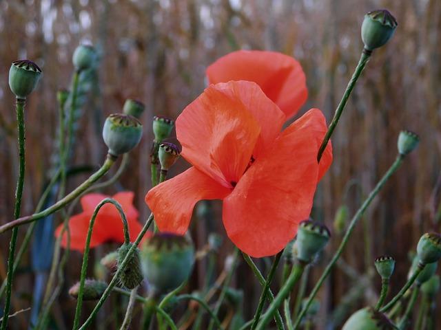 Poppy, Poppy Buds, Field, Red, Poppy Flower, Close