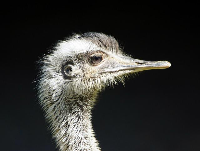 Rhea Bird, Close, Flightless Bird, Ratites, Bird Eyes