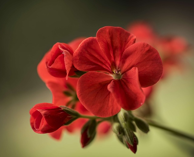 Geranium, Close, Flower, Flora, Red, Plant, Petal