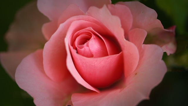 Rose, Blossom, Bloom, Close, Flower, Open Rose, Nature