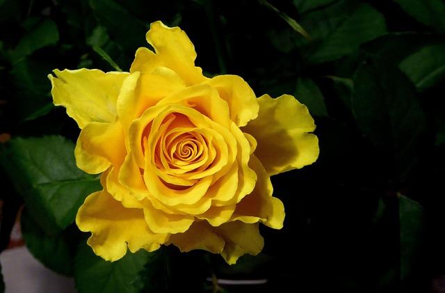 Rose, Yellow, Yellow Rose, Close, Garden Rose