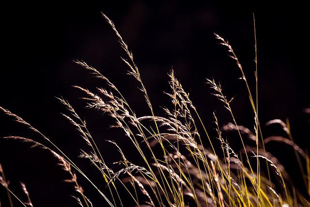 Grasses, Seeds, Nature, Meadow, Plant, Close, Summer