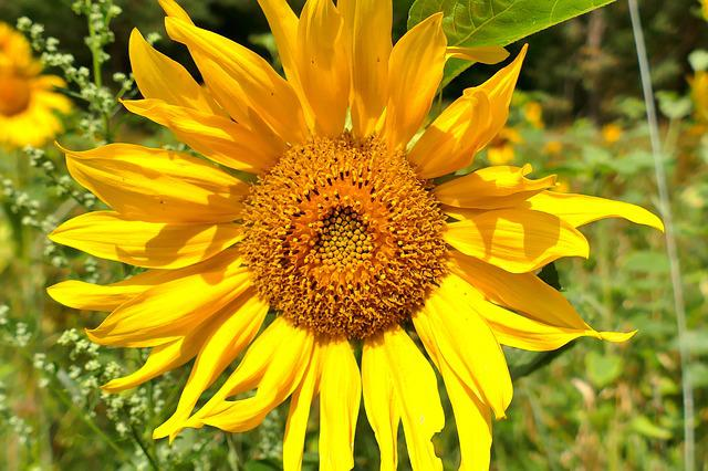 Sun Flower, Close, Beautiful, Yellow, Blossom, Bloom