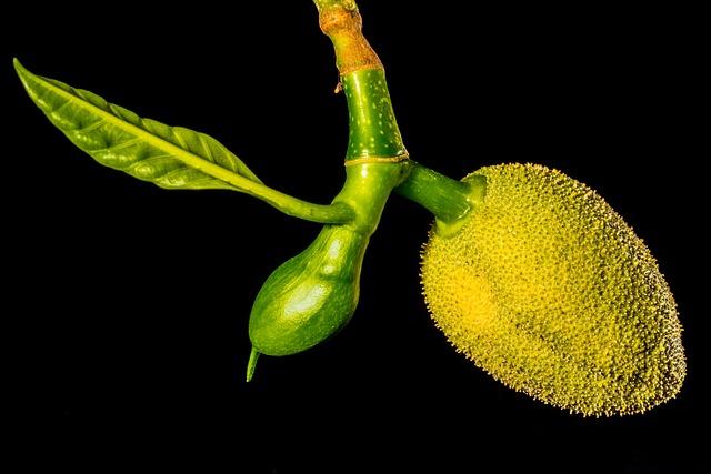 Jack, Young Jackfruit, Jack Fruit, Tropical, Close