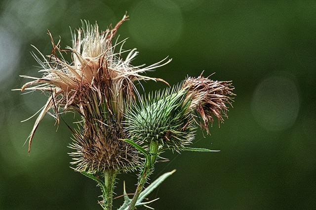 Thistle, Inflorescence, Backlighting, Close Up, Nature