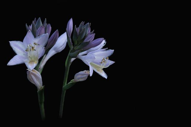 Hosta, Plantain Lily, Close Up, Blossom, Bloom, Plant