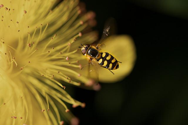 Hover Fly, Insect, Close Up, Blossom, Bloom, Flower