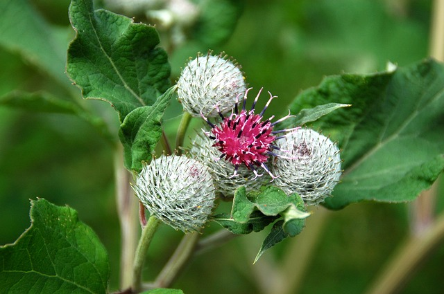 Burdock, Blossom, Bloom, Fruit, Bush, Plant, Close Up