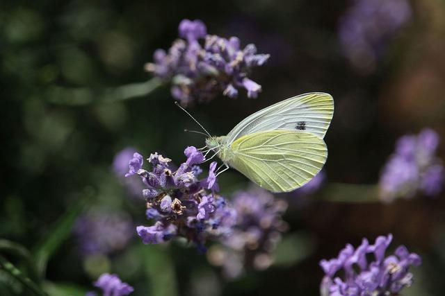 Gonepteryx Rhamni, Lavender, Butterfly, Close Up