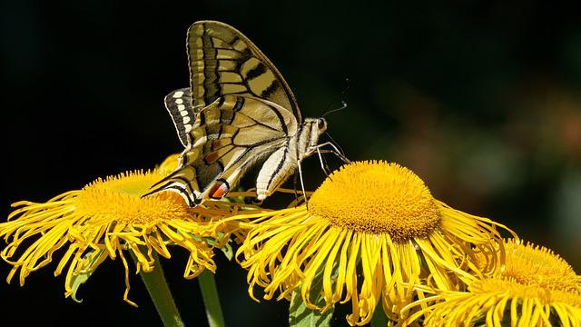 Dovetail, Butterfly, Flowers, Summer, Insect, Close Up