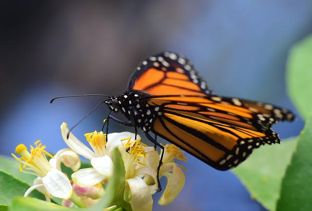 Monarch, Close Up, Tropical, Butterfly, Insect, Nature