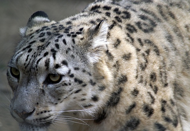 Snow Leopard, Close Up, Profile, Cat, Big Cat