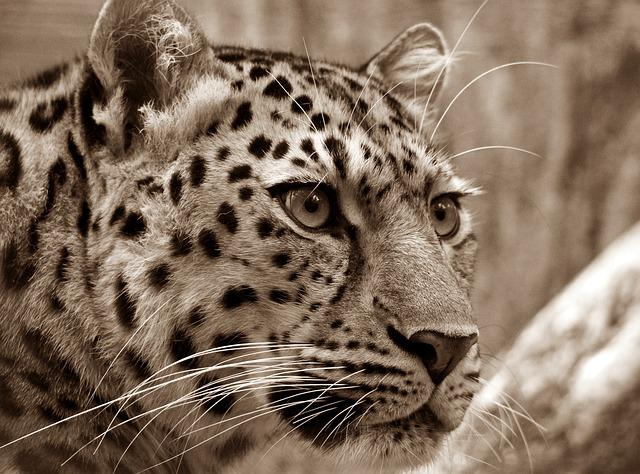Amur, Leopard, Sepia, Close Up, Cat's Eyes, Wild Animal