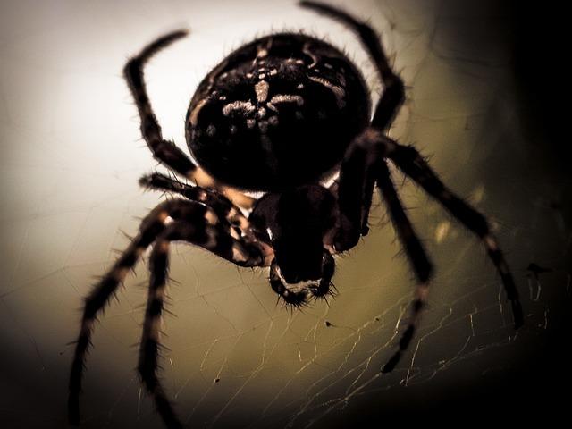 Araneus, Spider, Spider Macro, Cobweb, Close Up