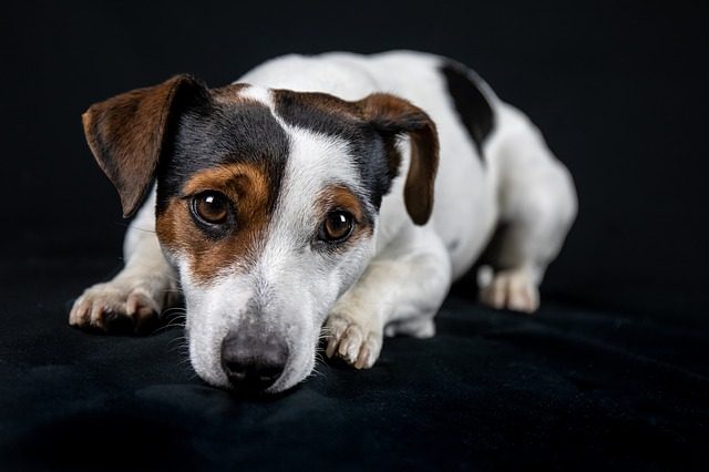 Jack Russell, Dog, Animals, Close Up, Animal Portrait