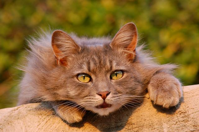 Cat, Feline, Furry, Pet, Close Up, Domestic Animal