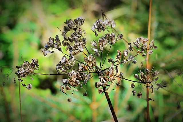 Wild Carrot, Dry, Flourished From, Close Up
