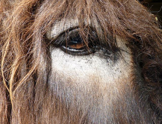 Donkey, Asin, Eye, Equine, œil, Close Up, Eyes, Ane