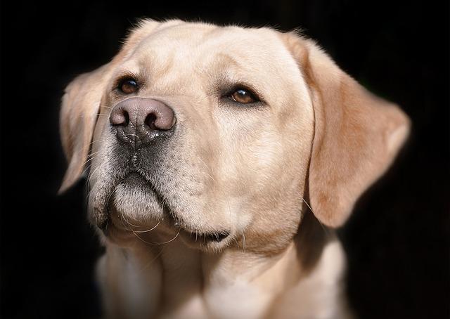 Labrador, Head, Hell, Dog, Animal, Close Up, Pet, Snout