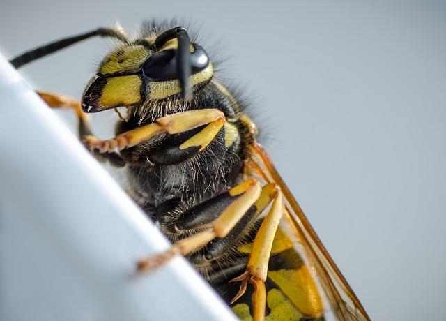 Wasp, Macro, Insect, Animal, Close Up