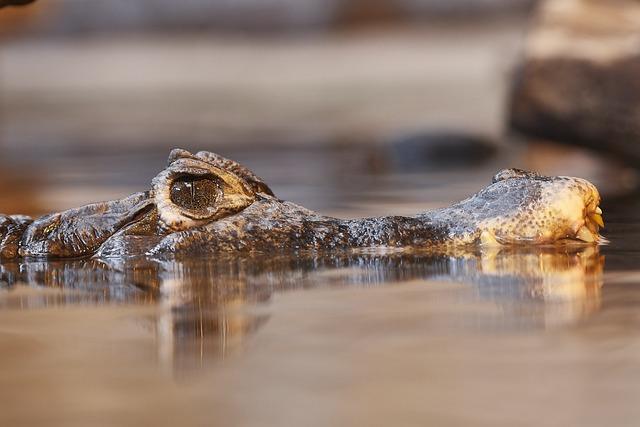Aligator, Eye, Water, Iris, Close Up, Face