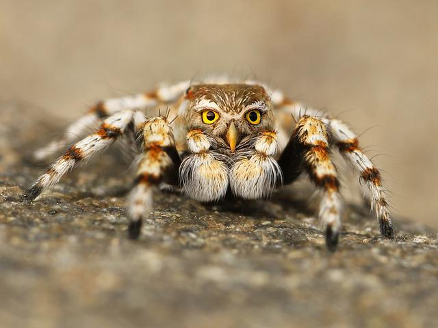Speule, Spider, Jumping Spider, Tarantula, Close Up