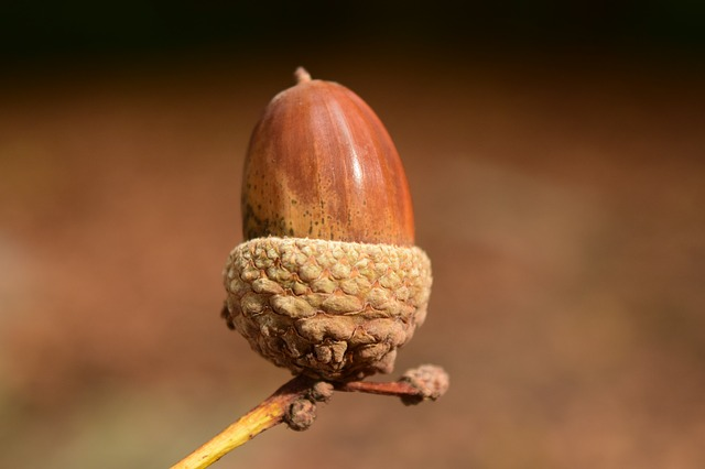 Acorn, Close Up, Background, Beautiful, Autumn, Nature