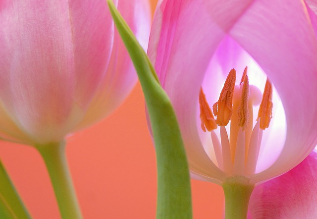 Tulip, Flower, Blossom, Bloom, Plant, Nature, Close Up