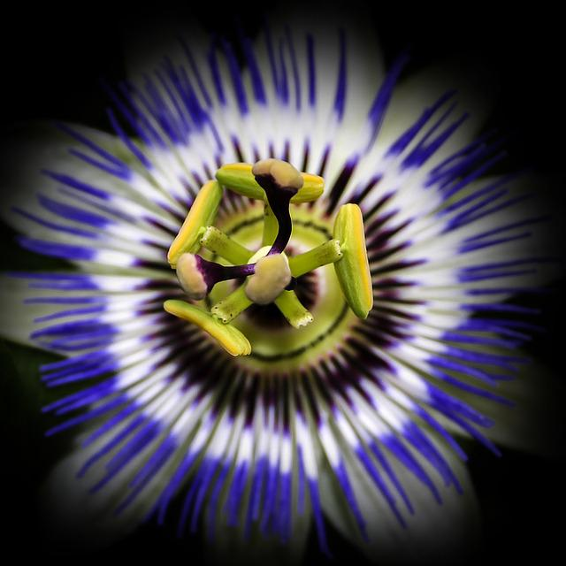 Passiflora, Blossom, Bloom, Close Up, Passion Flower