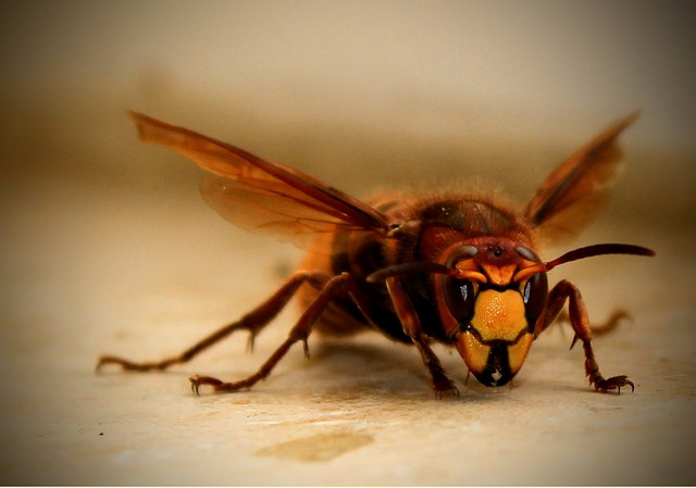 Hornet, Close Up, Black, Yellow, Eyes, Probe, Wing