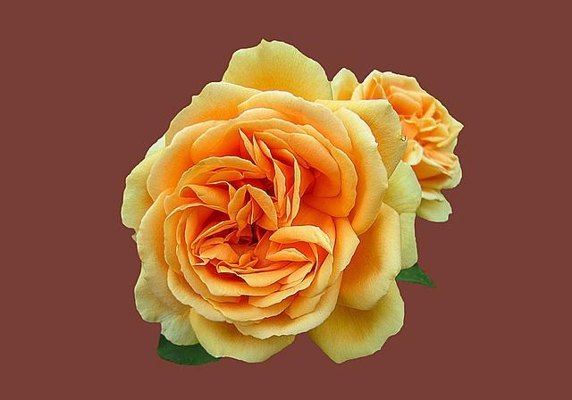 Bad Kissingen, Rose Garden, Rose, Rose Flower, Close Up