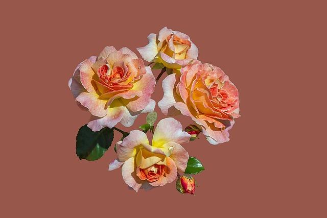Bad Kissingen, Rose Garden, Rose Flower, Close Up