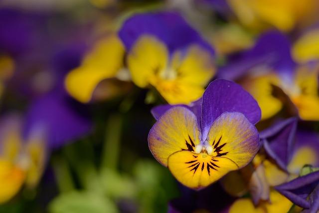 Pansy, Violaceae, Flowers, Violet, Bloom, Spring, Close