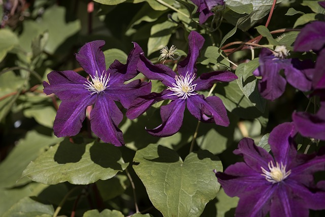 Clematis, Violet, Blossom, Bloom, Climber, Close