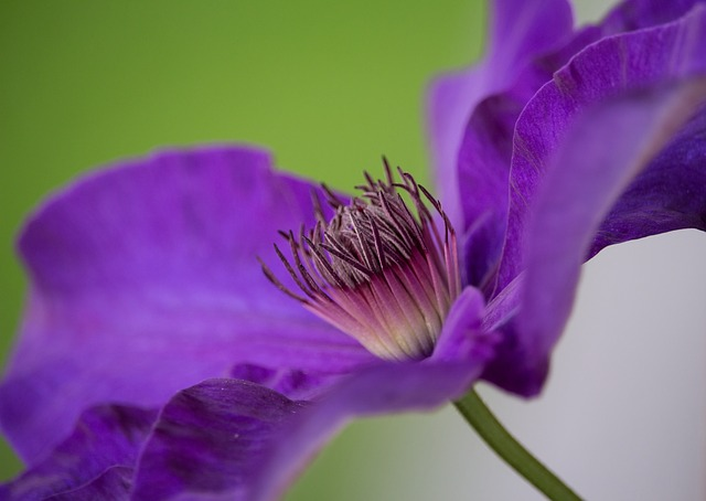 Blossom, Bloom, Clematis, Close, Purple, Flower, Violet