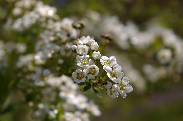 Flowers, Spring, White, Close, Nature, Bush