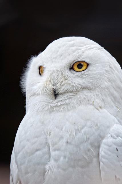 Owl, Yellow Eyes, White, Bird, Close, Feather, Plumage