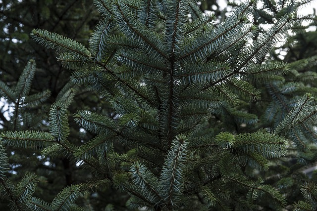 Blur, Branch, Close-up, Color, Conifer, Coniferous