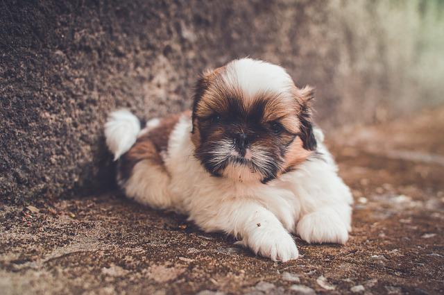 Adorable, Animal, Close-up, Cute, Dog, Fur, Little
